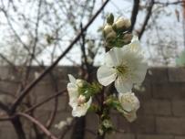 墙角的樱花