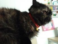 波斯猫黑米