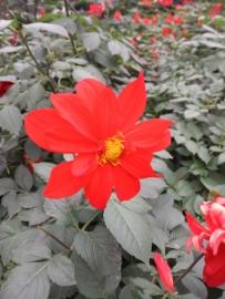社区楼下的花,我在西安用锤子T1拍摄,下午五点钟