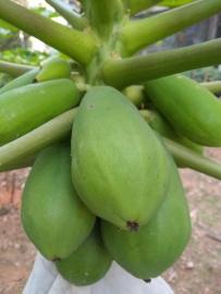 自己种的木瓜