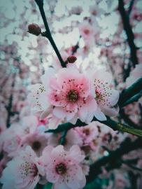 武汉东湖的梅花