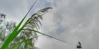汉口江滩看芦苇